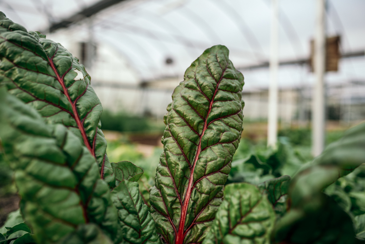 Greens defy traditional growing seasons in a greenhouse at Oakland Urban Growers in Waterford.