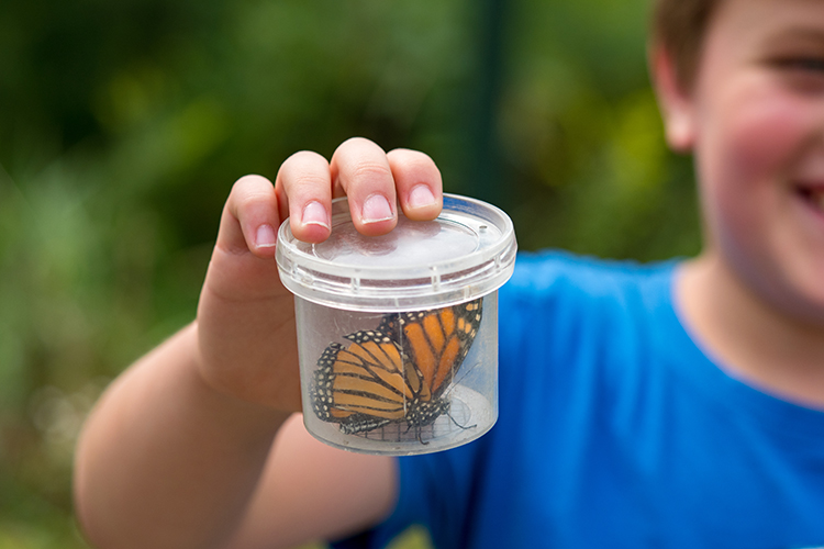Monarch Butterfly temporarily captured for study on SBLC conserved property