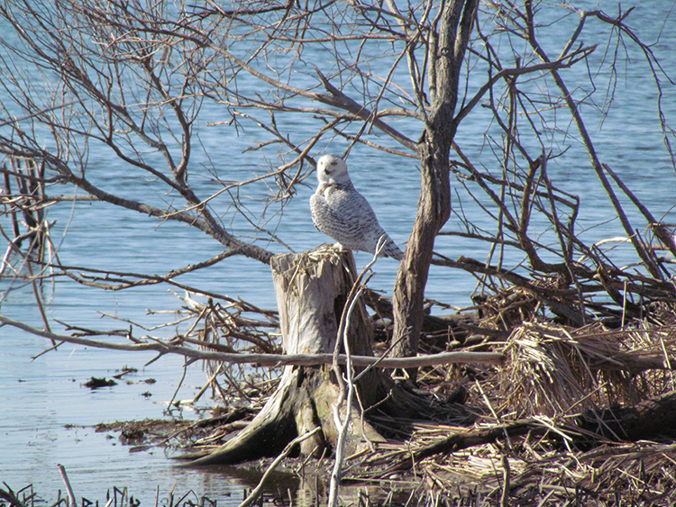 Snowy Owl seen on Nayanquing Point tour.