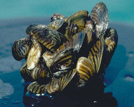 quiz-zebra-mussel-noaa-flickr (1).jpg