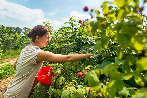 Picking Raspberries at Tantre Farm