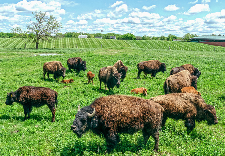 Bison at Domino's Farms