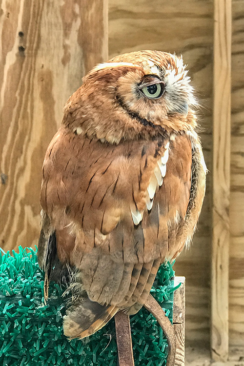 An owl at the Leslie Science & Nature Center's Raptor Enclosures