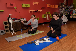 Cat yoga at Tiny Lions Lounge and Adoption Center