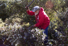Paul Siers harvests the berries from Autumn Olive shrubs on his farm