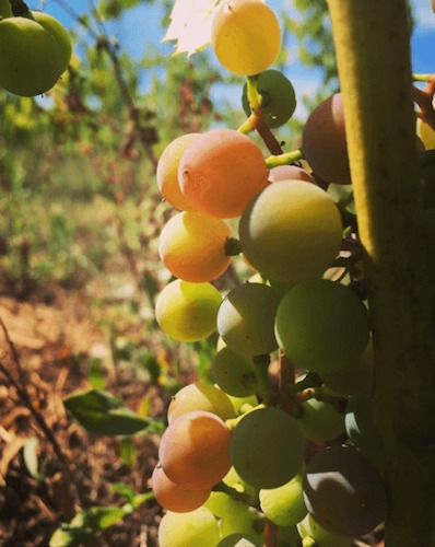 Grapes on the vine at Petoskey Farms Vineyard & Winery