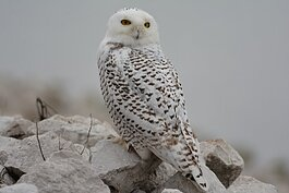 This photo of a Snowy Owl was taken by local photographer Susie Hughes.