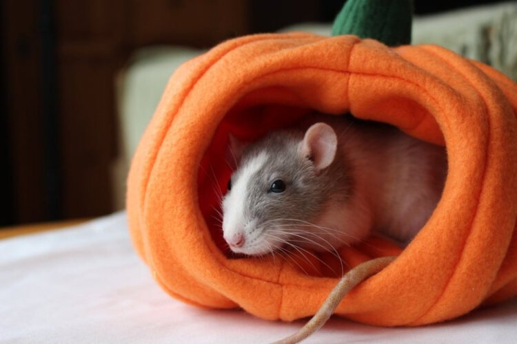 Tate Shumaker has an Etsy side hustle making habitats for pets.  Their store, Tatescosycreatures, features adorable hideaways shaped like fruits and vegetables for pet hamsters, guinea pigs, and rats.