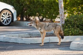 Coyote. Image via Flickr CC