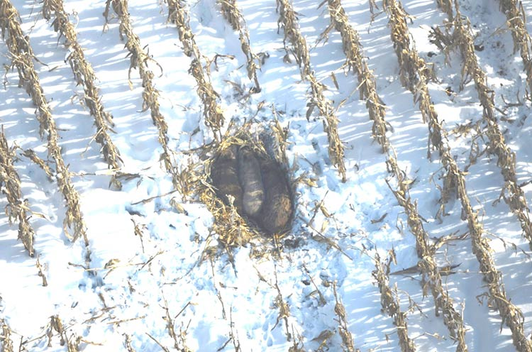 Aerial photo of feral swine in a standing cornfield, Mecosta County, January 2014. Photo courtesy Dwayne Etter.
