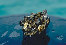 list-zebra-mussel-noaa-flickr.jpg