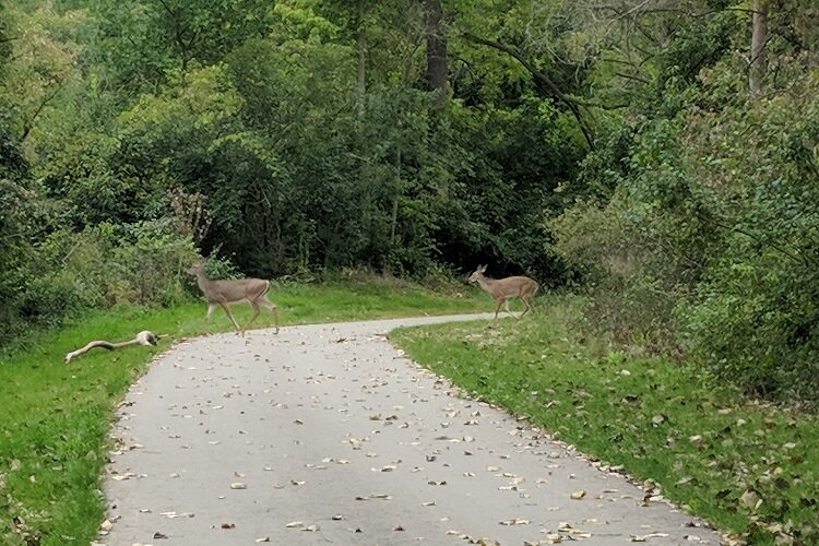Deer prance around a segment of the Lower Rouge Greenway.