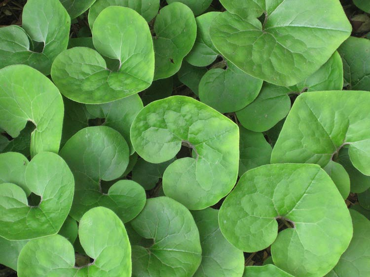 Wild ginger. Photo credit: Cranbrook Science via Flickr.
