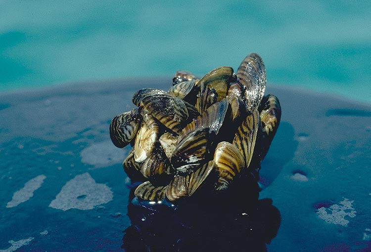 Zebra mussels, one of the Great Lakes' invasive species. Photo courtesy NOAA via Flickr.