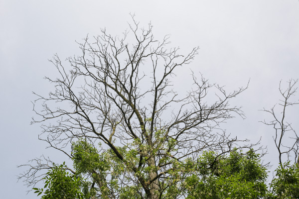 A tree plagued by the emerald ash borer