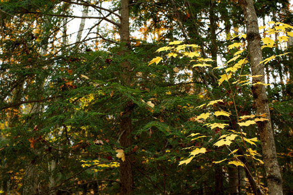 A fall beech. Its leaves with a Hemlock pocket.  Hemlock can provide valuable winter cover for animals.