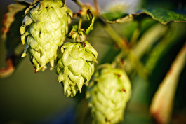 Hops on the vine in Leelanau County.