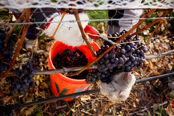 Brys Estate's Cabernet Franc grapes being harvested. / Beth Price