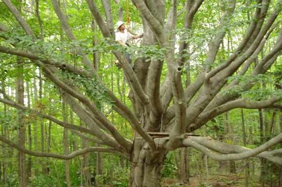 John Bischoff explores a large beech tree.