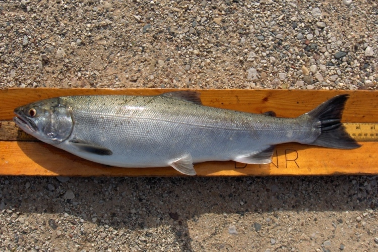Coho salmon were brought to Michigan to help control invasive alewives.