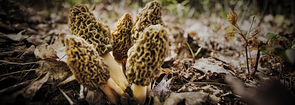 White Morels near the corner of