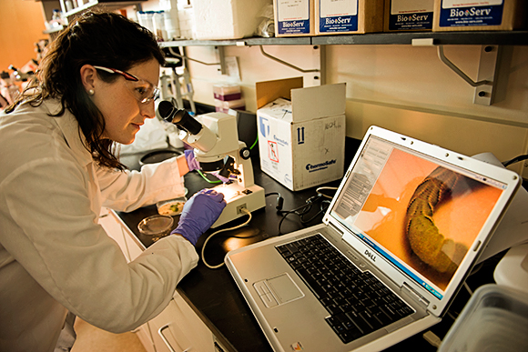 Alexandra Haase observes a tobacco hornworm under a microscope, with the image displayed on a laptop.