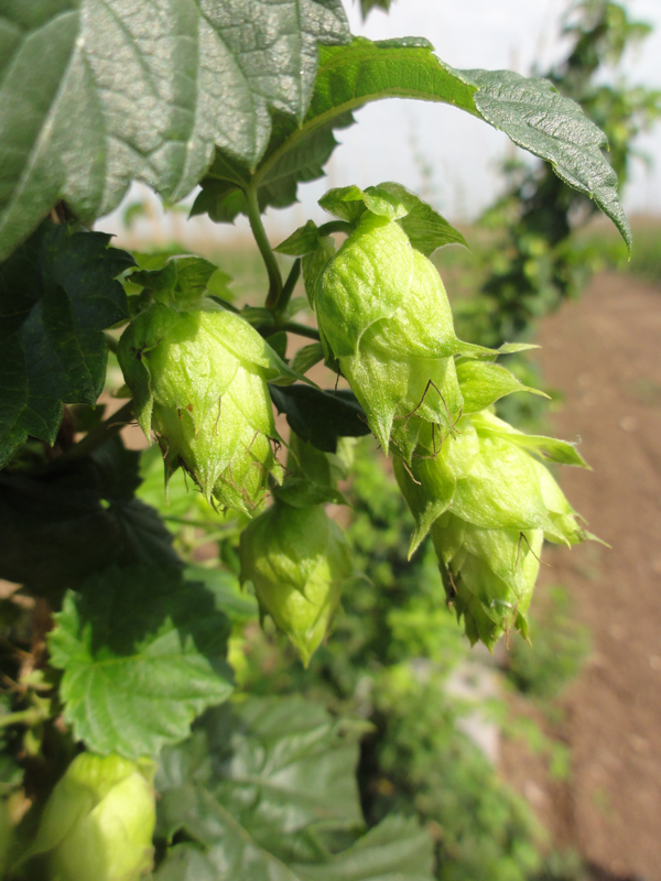 Hops grown at Hop Head Farms