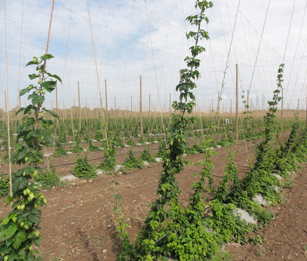The huge field of hops grown at Hop Head Farms