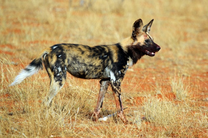 African Painted Dogs will be on exhibit at the Binder Park Zoo