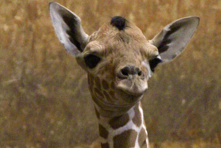 A new baby giraffe has been born at Binder Park Zoo