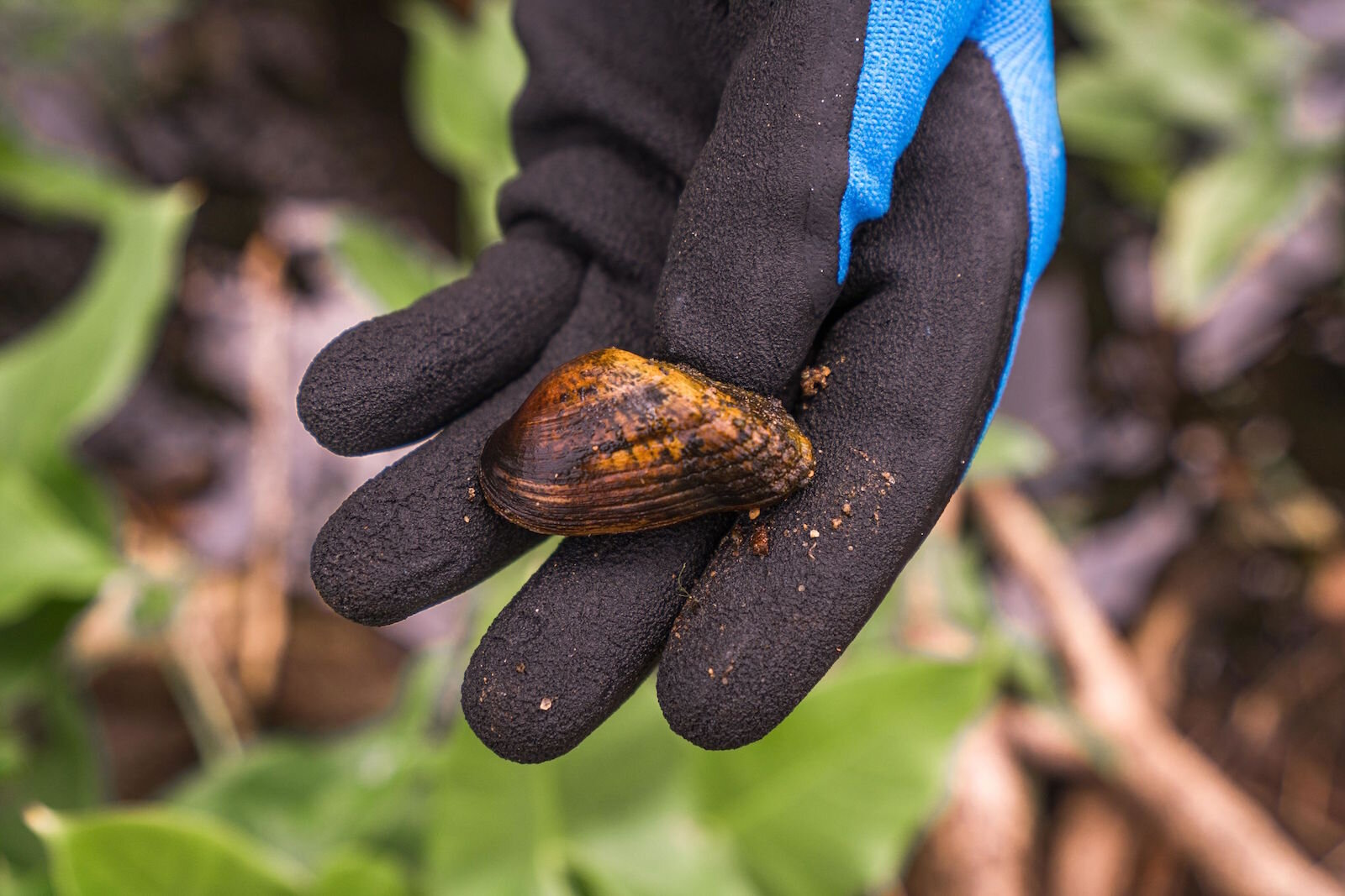 Researchers have been very excited to find the rare snuffbox mussel in Portage Creek at the site of The Mill at Vicksburg.