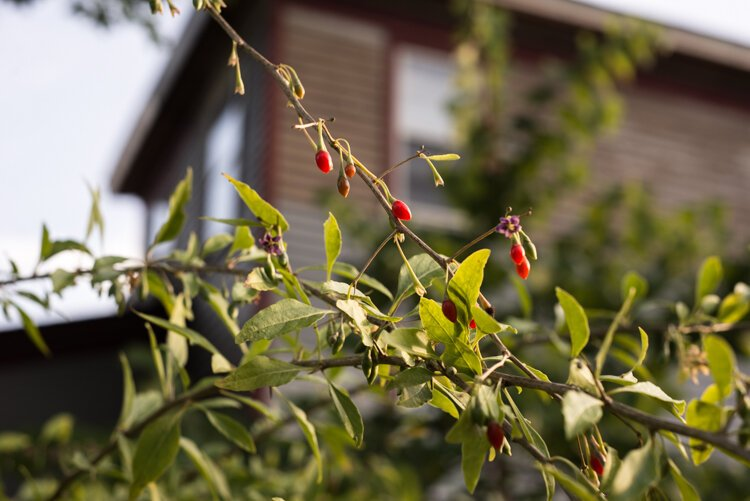 Goji berries are known for their bolstering of the immune system. Cardinals love them, too.