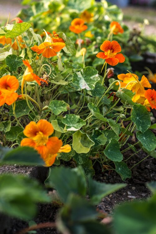 In Fruit of the Vine, steward Sally Reynolds grows all types of fruit, including edible flowers, such as nasturtiums and violets.