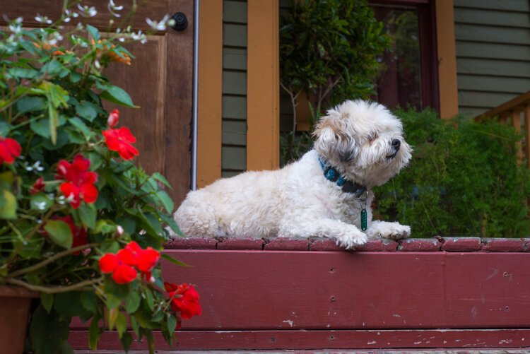 Romeo, Martha Gonzalez' dog, makes a perfect gardening and walking companion.