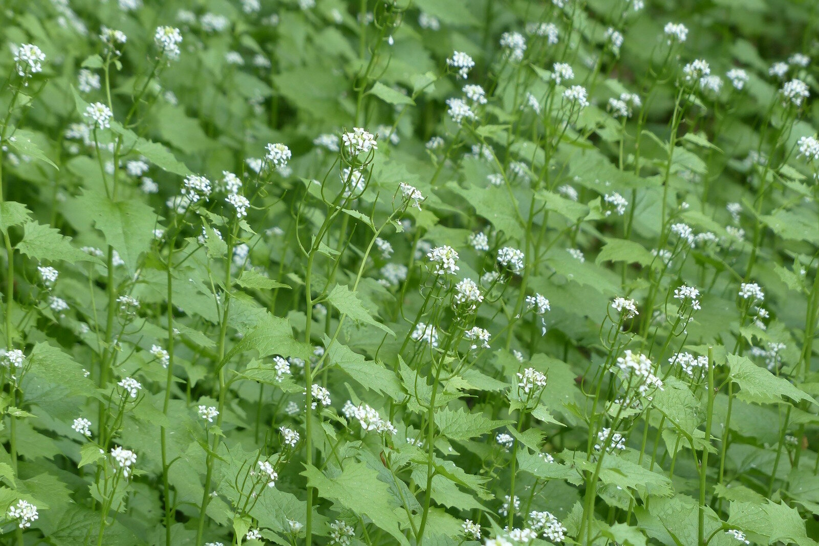 A single garlic mustard plant can produce up to 350 to 7,000 seeds depending on the size of the plant, and these seeds can stay viable in the ground for up to 10 years.