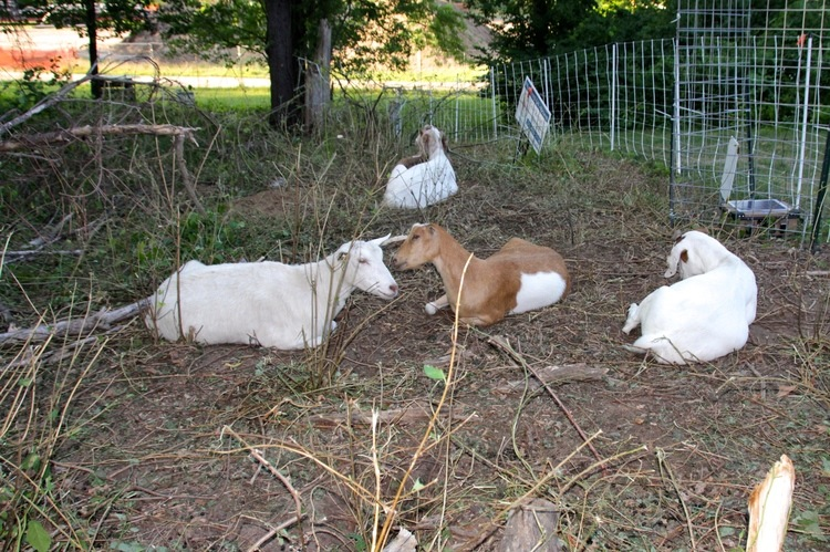 Goats relax after eating for a little more than a day.