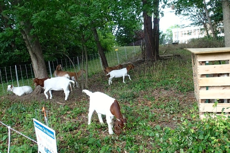 Goats eating weeds on day three.