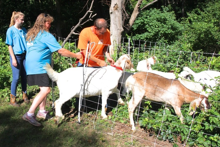 The goats are introduced to WMU campus