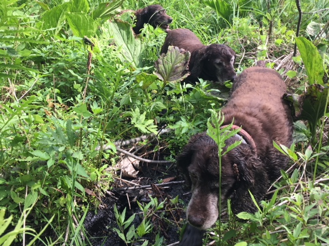 Boykin Spaniels can find many turtles that people cannot.