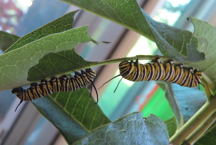 Two of four monarch caterpillars the author raised to adults during August and September