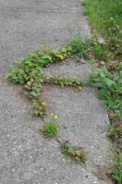Knotweed in brownfield sidewalk