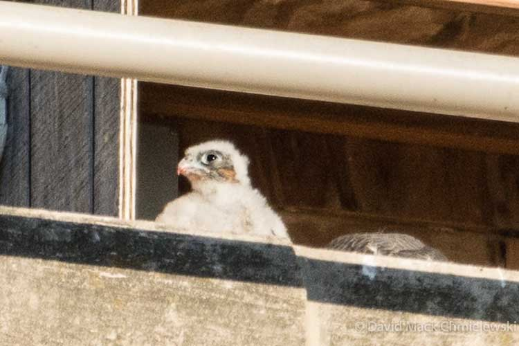 A little peregrine peeks out of the nest box.