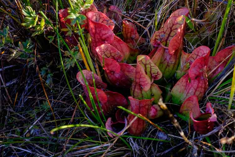 Pitcher Plants at Portman Nature Preserve   photo by Ivan La Blanca