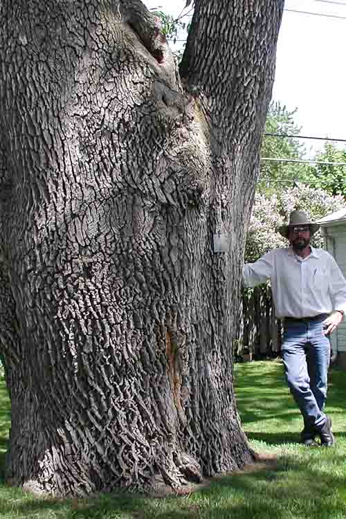 Roberts investigating a large ash tree in Berkeley, Mich., 2002, just after his discovery of the emerald ash borer.