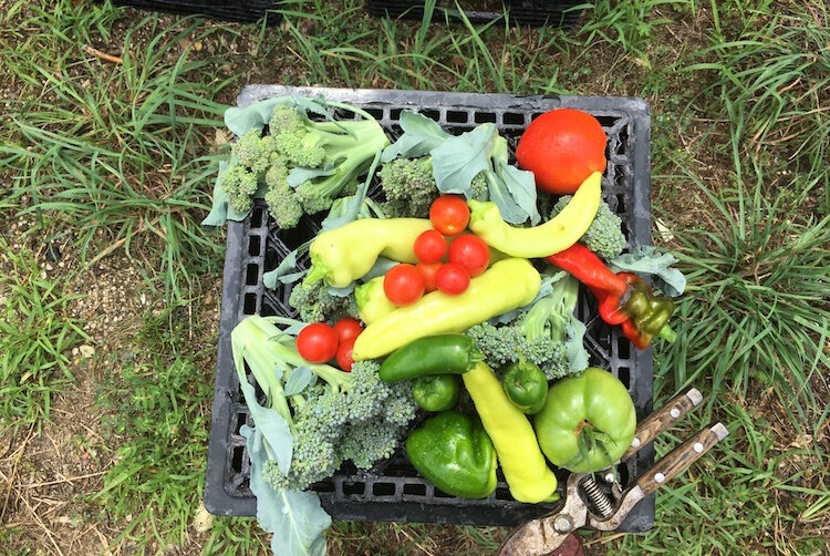 A milk crate contains a sampling of the vegetables grown in the SHARE Center garden.