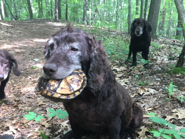 A Boykin Spaniel brings in a turtle it has found.