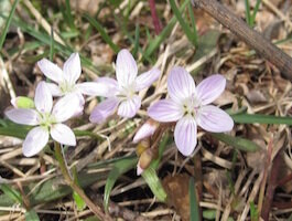 Virginia Spring Beauties at Sora Meadows Preserv