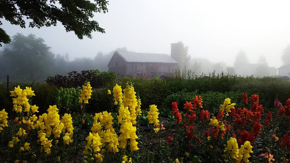 The Blue Hills Farm barn in the early morning mist with snapdragons in the foreground. <span class='image-credits'>Angie Ebert</span>
