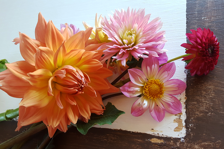 Pictured are some of the first dahlia cuttings from the field, which will soon be bursting with these lovely flowers/