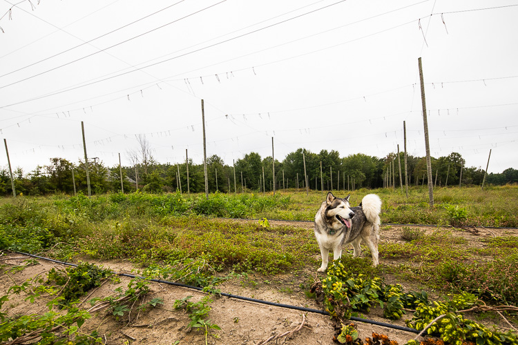 Balto enjoys spending time in the hop fields.